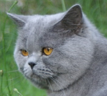 Blue Velvet, british shorthair bleu