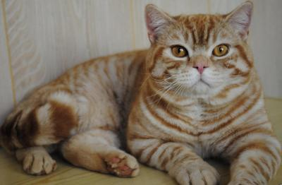 magic Fire, mâle british shorthair red silver spotted tabby, disponible