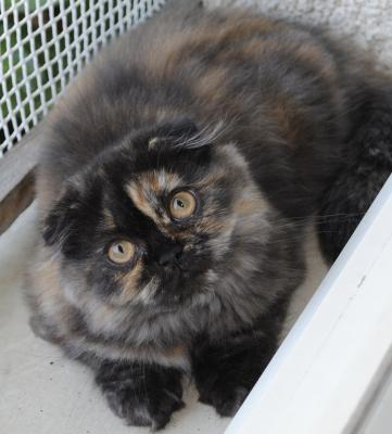 Norma,femelle highland fold black tortie